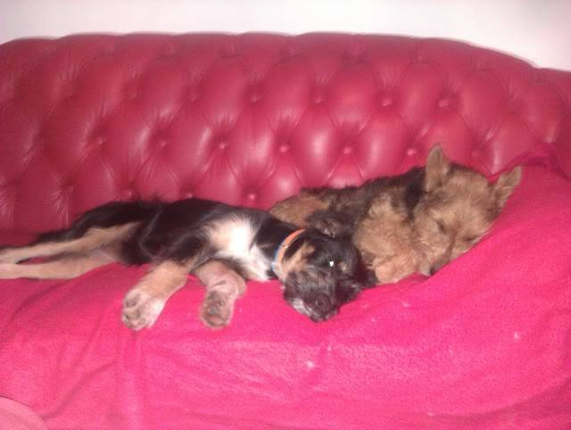 Jake - Lovely 1 year old Lakeland Terrier - Fostered S.Wales Imag0072og