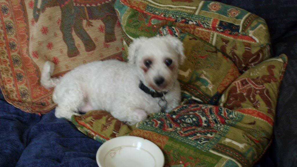 Jack - Beautiful 8 year old Bichon - Great with dogs, cats and kids Jack004-1