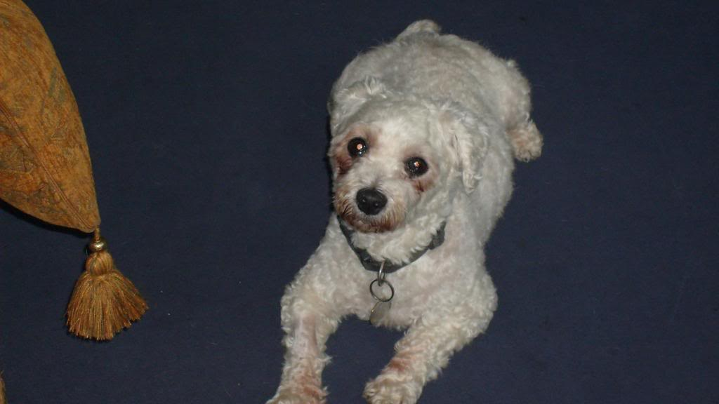 Jack - Beautiful 8 year old Bichon - Great with dogs, cats and kids Jack005