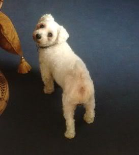 Jack - Beautiful 8 year old Bichon - Great with dogs, cats and kids Jackandcats013