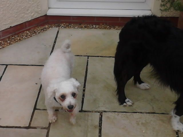 Jack - Beautiful 8 year old Bichon - Great with dogs, cats and kids Jackandcats016