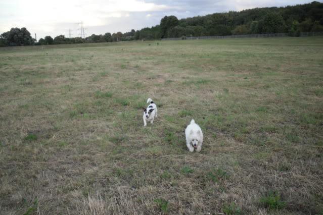 Jade - Pretty 3 year old West Highland Terrier - In Kent Jj