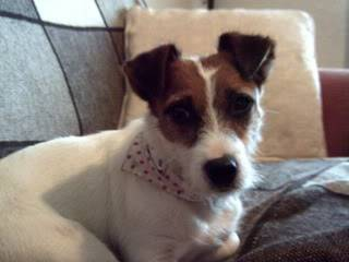 Mandy - Pretty 18 month old JRT - Fostered in Swansea 067