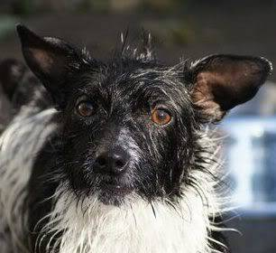 Paxxo - 1 year old Terrier - Fun, loving boy 321523_10150447024166959_632861958_10791415_681960054_n