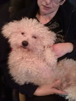 Benji and Oscar - 3 and 5 year old Bichon Frise pair At_Simons_Place1