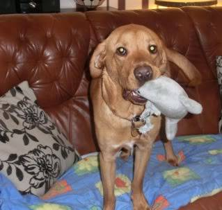 Marley - Friendly 1 year old Labrador (Fostered in S.Wales) CIMG1364