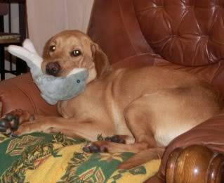 Marley - Friendly 1 year old Labrador (Fostered in S.Wales) CIMG1371