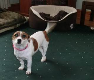 Mandy - Pretty 18 month old JRT - Fostered in Swansea CIMG1377