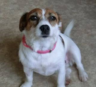 Mandy - Pretty 18 month old JRT - Fostered in Swansea CIMG1390