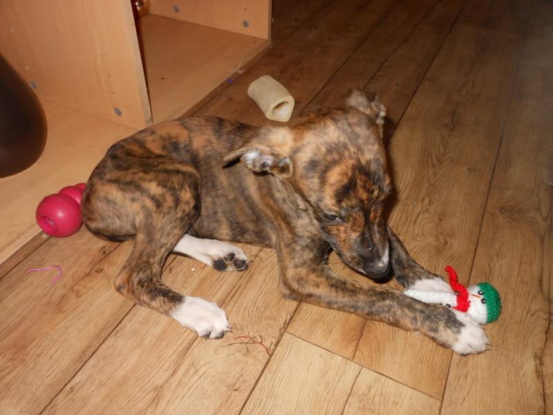 Nutmeg - 9 week old Lurcher pup Dec2011002