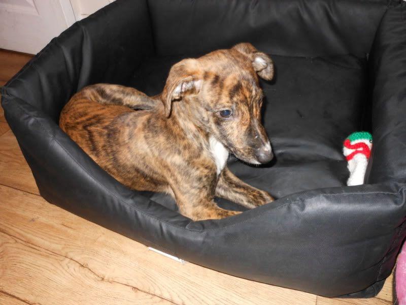 Nutmeg - 9 week old Lurcher pup Dec2011004