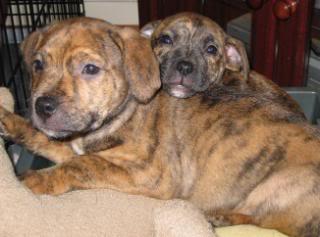 Dorothy - 8 week old SBT cross pup DorothyandPumpkin019