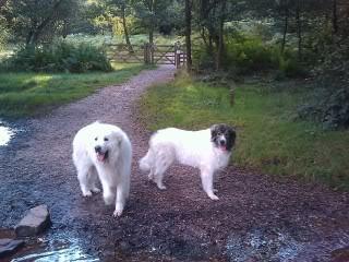 Loki & Polar 10 yrs, Pyrenean Mountain dogs IMAG_0176