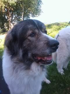 Loki & Polar 10 yrs, Pyrenean Mountain dogs IMAG_0203