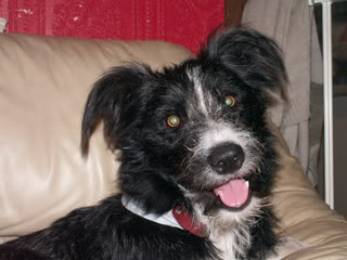 Marley - 10 month old Border Collie cross - dog and child friendly Marley02-1