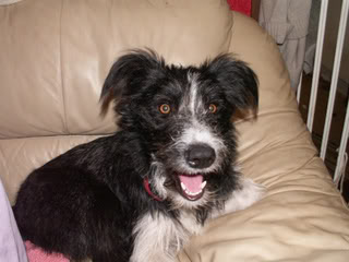 Marley - 10 month old Border Collie cross - dog and child friendly Marley03-1