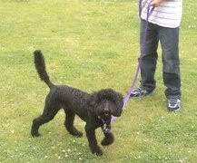 Meg - Active 9 month old Poodle - Fostered in Herts Meg02-1-1