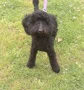 Meg - Active 9 month old Poodle - Fostered in Herts Meg03-1