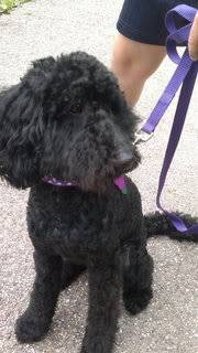 Meg - Active 9 month old Poodle - Fostered in Herts Meg04-1