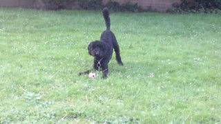 Meg - Active 9 month old Poodle - Fostered in Herts Meg05