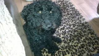 Meg - Active 9 month old Poodle - Fostered in Herts Meg06