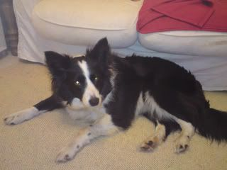 Missie - Beautiful 5 year old Border Collie Missie09
