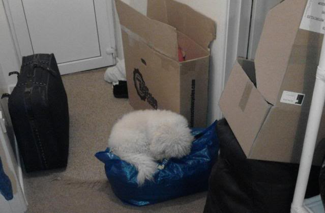 Benji and Oscar - 3 and 5 year old Bichon Frise pair Oscar_On_Packing_Case