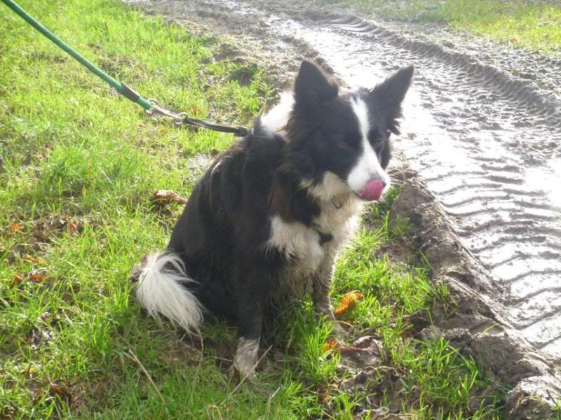 Missie - Beautiful 5 year old Border Collie P1020154