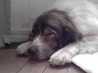 Loki & Polar 10 yrs, Pyrenean Mountain dogs P210911_1618