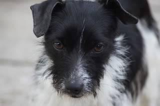 Paxxo - 1 year old Terrier - Fun, loving boy Paxxo01