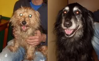 Max and Mop - 14 yr old BC cross and 13 yr old Yorkie cross - really sweet couple Maxandmop