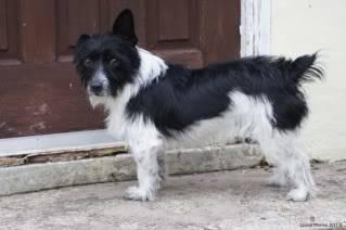 Paxxo - 1 year old Terrier - Fun, loving boy Paxoc
