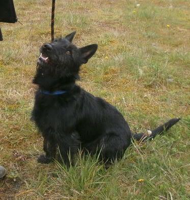 Milo - Beautiful 18 month old Scottish Terrier x Milo