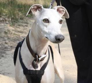 Spud - 6 year old Whippet - dog and child friendly 007-2-1