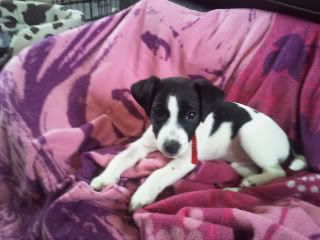 Rascal - 9 week old JRT - Needs active home 2011-11-28123215