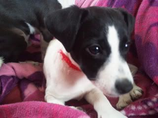 Rascal - 9 week old JRT - Needs active home 2011-11-28123250
