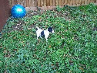 Rascal - 9 week old JRT - Needs active home 2011-12-01105658