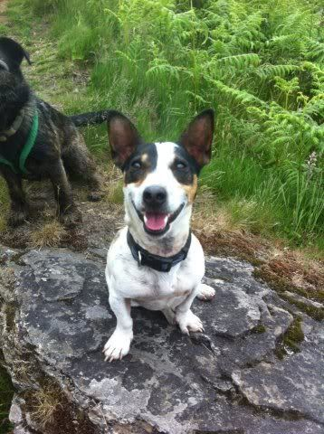 Tick - 5 year old JRT looking for an outdoor home 252701_222616747858625_1101893546_n