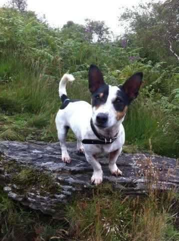Tick - 5 year old JRT looking for an outdoor home 396620_235260756594224_2107851919_n