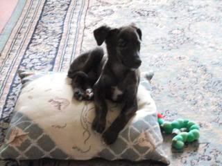 Sixpence - Stunning 8 week old Whippet cross - Fostered in Devon 558257_10150901139236191_1145180018_n