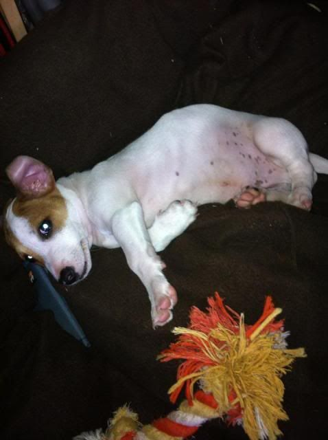 Silas - 8 week old JRT boy - Brace yourselves for cuteness! 558302_3616248730720_1408897427_3373952_1573488289_n