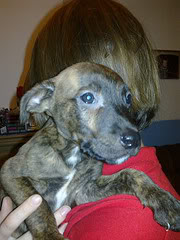 Sleepy - 4 month old Whippet cross - good with kids, cats and dogs 5958916869_abb76874a1_m
