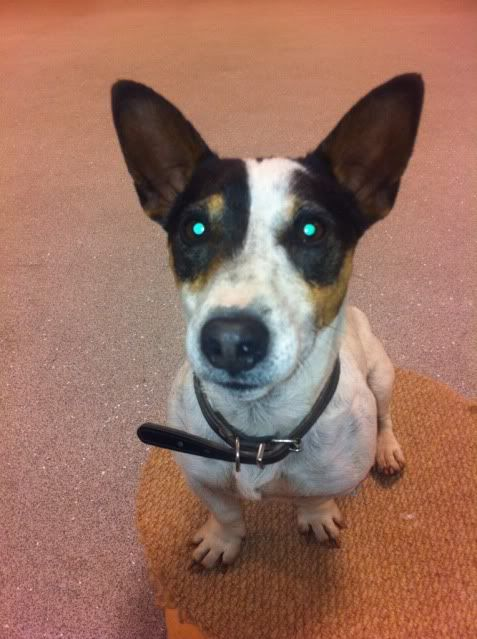Tick - 5 year old JRT looking for an outdoor home AE44738E-222E-4EF2-96CC-43093178A36F-1040-0000013D6D81CD89