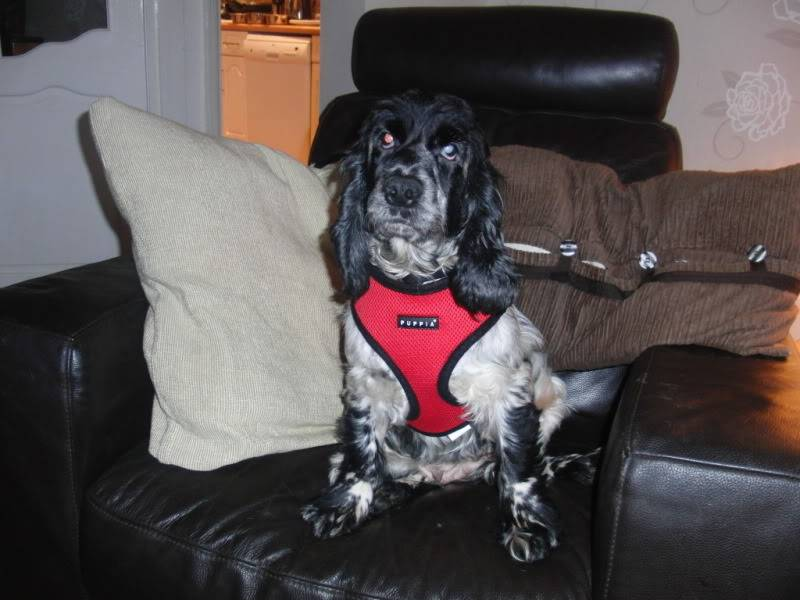 Sky - 5 year old Cocker Spaniel - Good with dogs, kids+cats CIMG1104