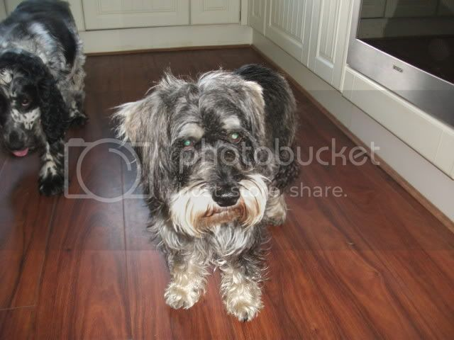Toffee - 5 year old Miniature Schnauzer (Fostered in Cardiff) DSCF0837