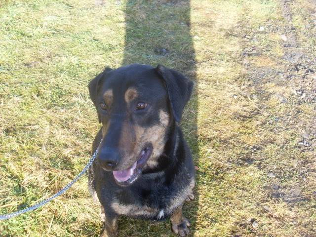 Tyson - 18 month old Doberman cross Labrador - Good with kids,cats+dogs! Dogs006-6