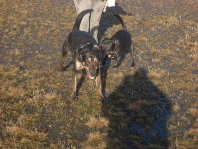 Tyson - 18 month old Doberman cross Labrador - Good with kids,cats+dogs! Dogs011-7