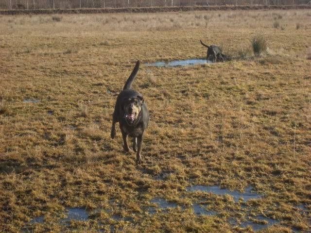 Tyson - 18 month old Doberman cross Labrador - Good with kids,cats+dogs! Dogs012-5