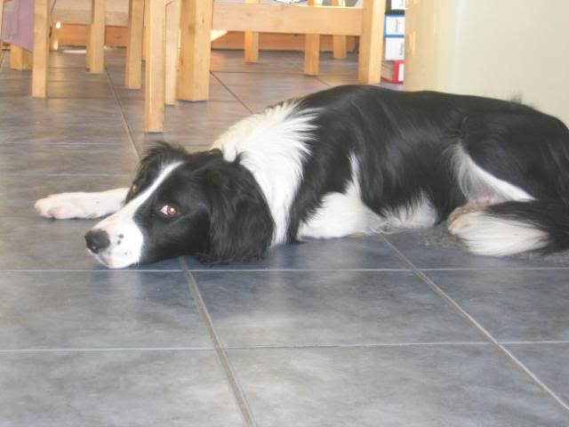 Sam - Active and sweet 17 month ESS x Collie IMG_0795