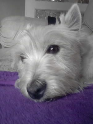 Toby - 3 year old West Highland Terrier (Fostered in Staff) P080712_1942
